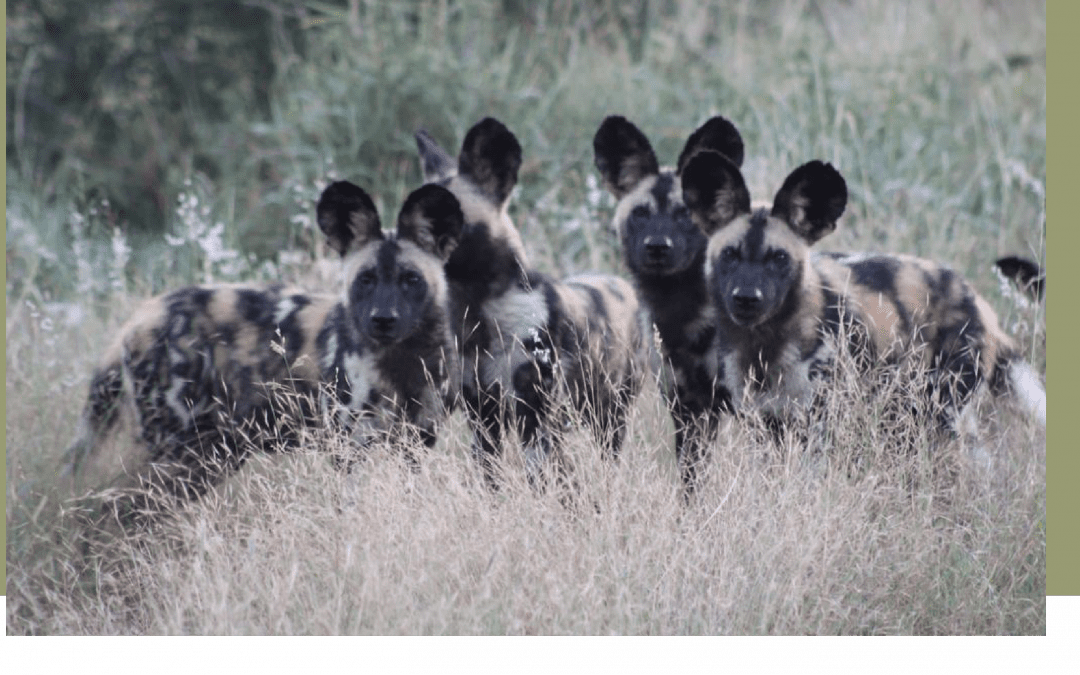 Close-up sightings of Wild Dogs this last month at Bayete Zulu!