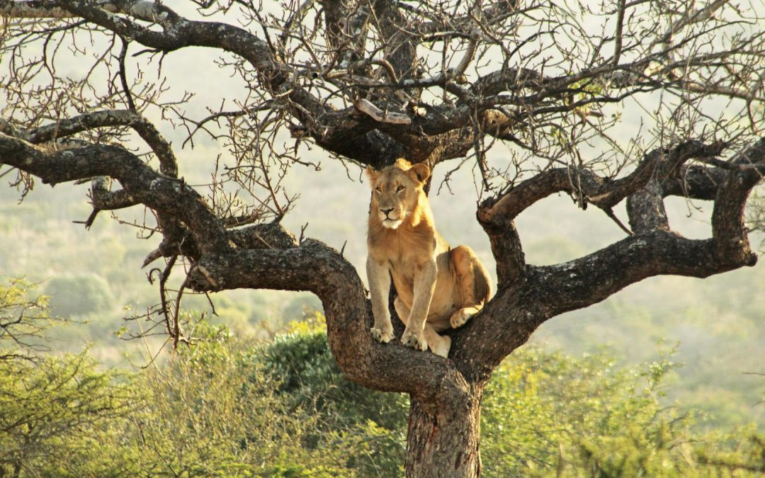 Time is running out for Manyoni's oldest lion male LM2